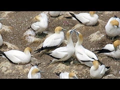鰹鳥棲息在懸崖上