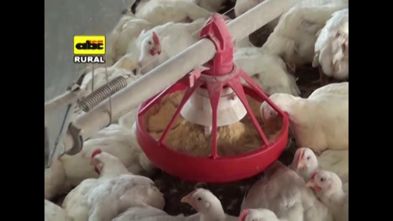 Cria de pollos parrilleros bajo sistema integrado