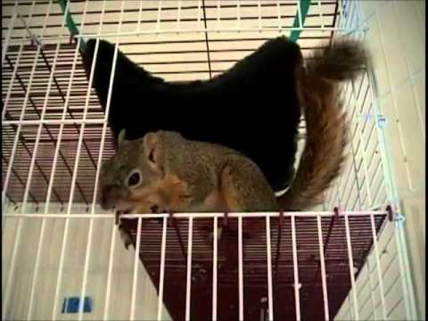 Squirrel plays with stuffed animal, toys - Mary Cummins, Animal Advocates