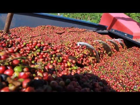 A Cafeicultura Tecnificada