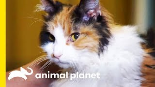 These Curly Cats Are The Perfect Affectionate Companion | Cats 101 by Animal Planet