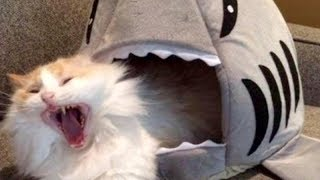 Video LAUGH SO HARD YOU'LL CRY - Funniest CAT VIDEOS compilation MP3, 3GP, MP4, WEBM, AVI, FLV Januari 2018