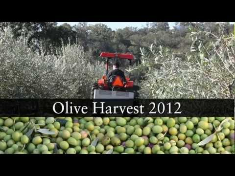 2012 olive harvest report | Jordan Winery, Sonoma County, California