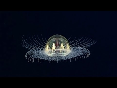 Real Life Metroid Spotted In Deep Sea