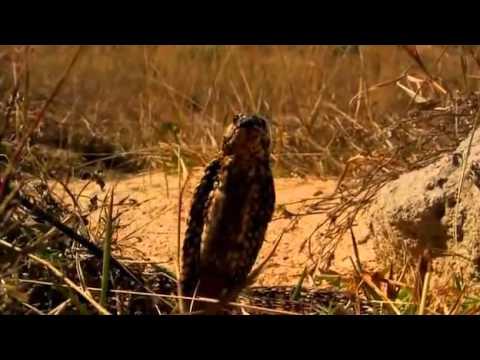 Loài rắn hổ mang vàng kỳ dị, nọc độc đủ giết chết 6 người.