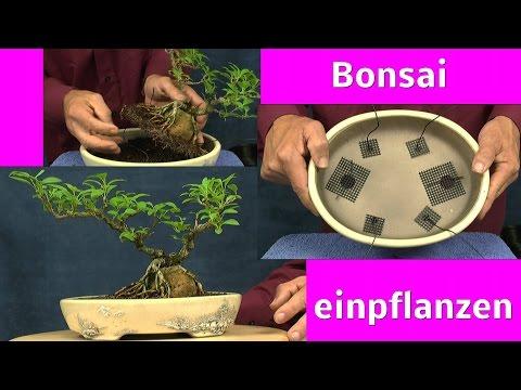 Bonsaischale Unboxing und Bonsai Einpflanzen mit Detlef Römisch