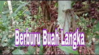 "Video buah buahan hutan ""buah langka"" Fruit forest MP3, 3GP, MP4, WEBM, AVI, FLV Juni 2019"