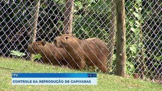 Condomínios adotam estratégias para evitar a reprodução das capivaras