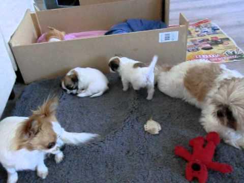 Puppies Shih Tzu / Chihuahua