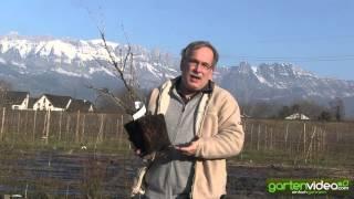 #1451 Wie pflanze ich einen Stachelbeerbusch