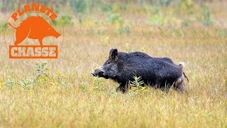 Sangliers : Chasse En Battues 2014 Avec Browning