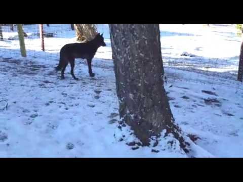 El lobo Ámarok ya está en Colorado, EE.UU.