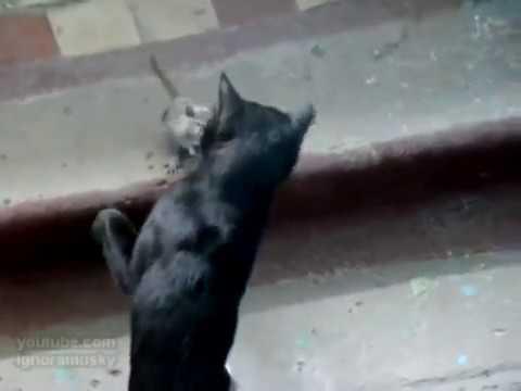 Gato VS Rata