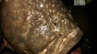 River Monsters - Gigantic Queensland Grouper