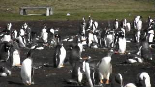 Gentoo Penguin colony accessible via a half hour 4WD ride over rough ground after a half hour bus ride from Port Stanley.