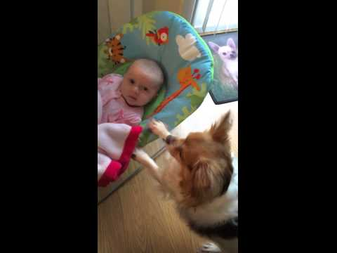 Chihuahua bounces newborn baby in her bouncy chair