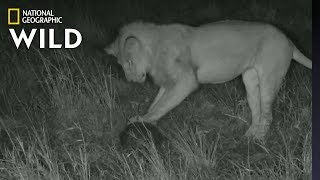 Lion 'Plays Soccer' with Pangolin In Rare Video   Nat Geo Wild by Nat Geo WILD