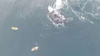Subscribe here: http://bit.ly/1m6su5O Kayaking brothers share incredible encounter with migrating whales only a hand's reach...