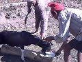 Nepali khasi cutting