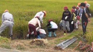 稲刈り体験学習・羽黒小5年・羽黒コミ