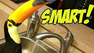 Pet Toucan Discovers a Water Faucet!