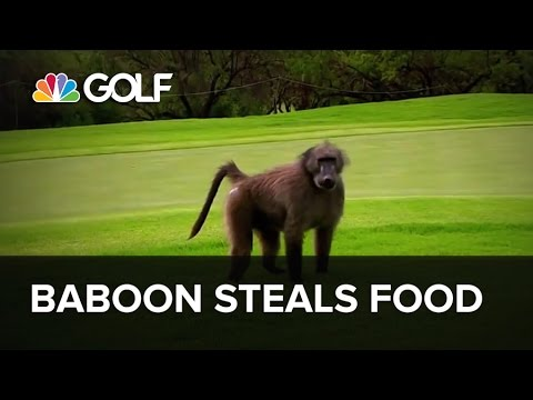 Baboon steals food from Golf Channel camera crew during tournament