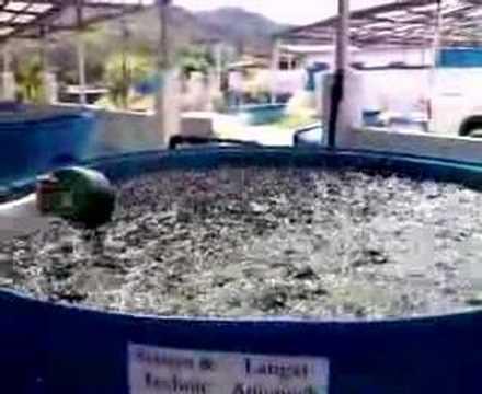 شاهد كيف يتم إطعام السمك في مزرعه أسماك