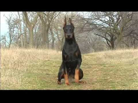 dobermann training