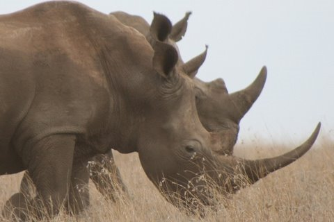 rhino - The Rhino is one Africa's Big Five. The white rhino is the largest of the remaining 5 species of rhinoceros. They are divided into the southern and northern ...