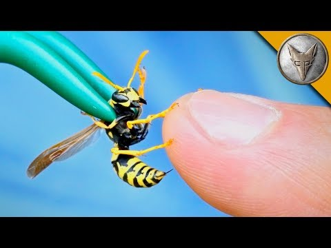 Coyote Peterson Gets Intentionally Stung by a Yellow