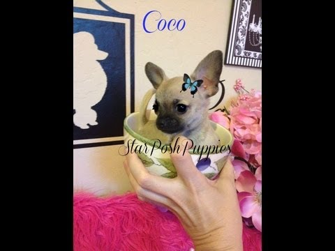 "Smallest micro teacup chihuahua puppy for sale  "" coco"""
