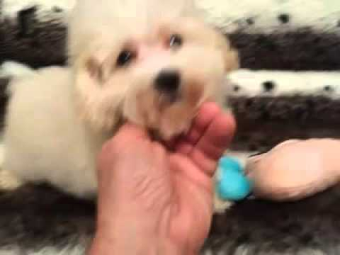 Adorable, Curly Maltipoo male