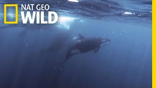 Orcas vs. Sperm Whales | Nat Geo Wild by Nat Geo WILD