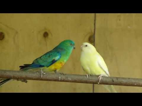 Red Rump Parrots feeding each other at The Pheasantasiam