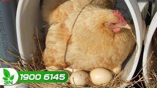 Chăn nuôi gà | Giống gà đẻ nhiều trứng nhất hiện nay