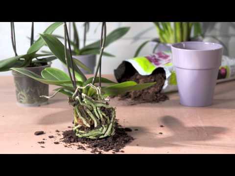 Trasplantar orquídeas a una maceta