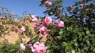#954 Englische Rosen als Stämmchen (Brother Cadfael)