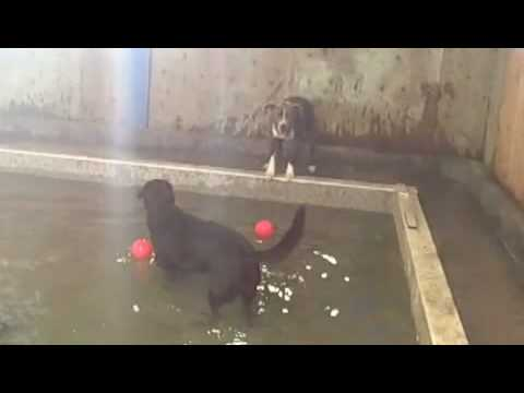 monkichia - We opened our new pool to the excited pooches. For more information, go to the website: www.planetpooch.com or the blog, www.planetpooch.com/blog.
