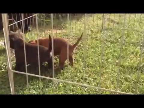 Vendita american pit bull terrier cuccioli