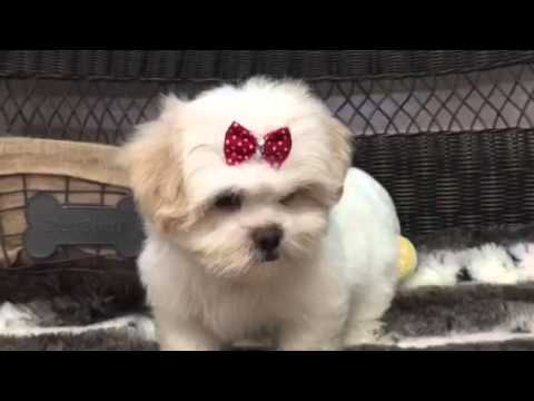 Ball of fluff, Shih-Poo puppy