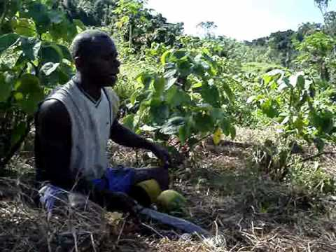 Madventurer Fiji – Nakavika Village, Moji takes us on a guide to Yaqona Farming (grog/kava)..