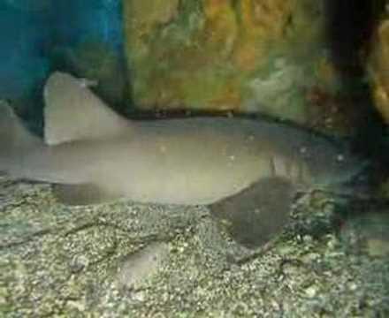 Tiburón orectolobiforme