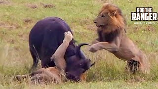 Video Dramatic Lion Action: Lions Stalk And Catch Buffalo Cow & Newborn Calf!! MP3, 3GP, MP4, WEBM, AVI, FLV Desember 2018