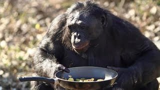 Monkey Makes A Fire: Kanzi The Bonobo Makes A Campfire