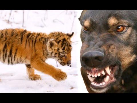 Что стало с истощенным тигренком пришедшим к людям в Приморье