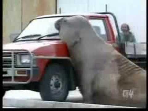 Elefante Marino Enfadado