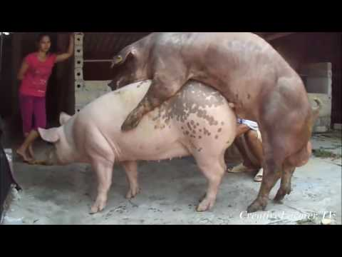 Video Ultra Aggressive Pig Mating ★ Life of Pigs P19✔ download in MP3, 3GP, MP4, WEBM, AVI, FLV January 2017