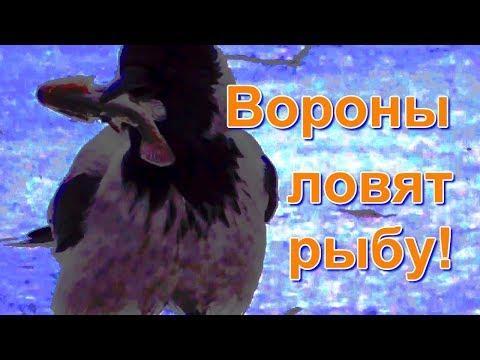 Вороны ловят рыбу