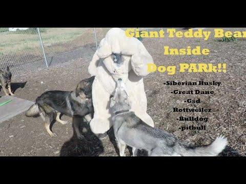 Video Giant Teddy Bear Prank FAIL! Husky & GSD ATTACK!! download in MP3, 3GP, MP4, WEBM, AVI, FLV January 2017