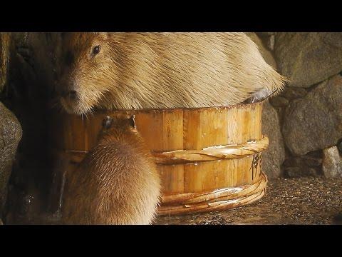 【静岡】たらい風呂にむりやり入ろうとする巨大カピバラ姉さん